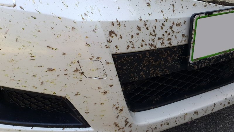 Serangga mati nabrak mobil